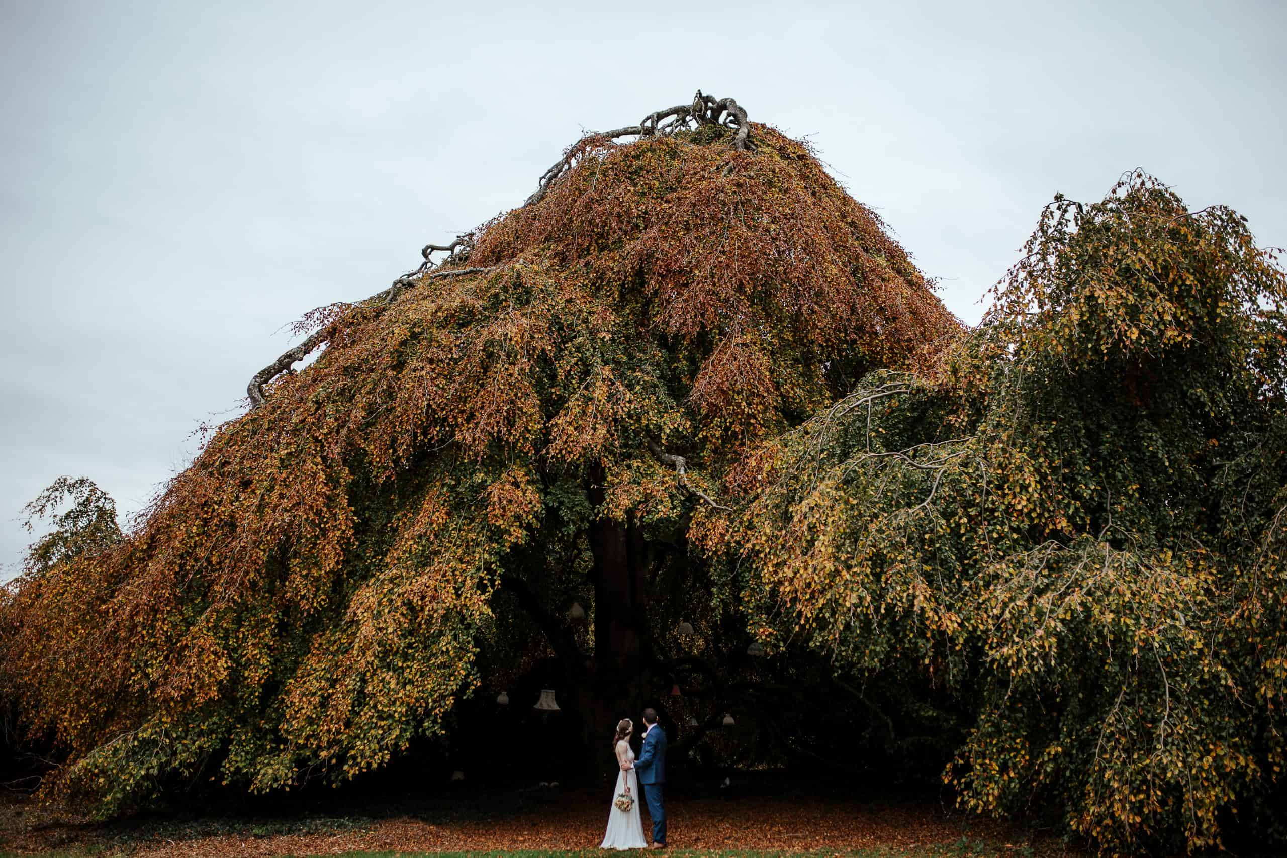 weeping tree in bellinter house co meath